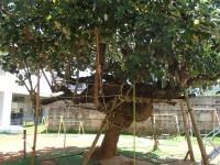 ゆうなの木